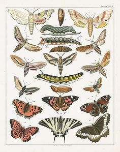 Oken Natural History Butterfly & Insect Prints