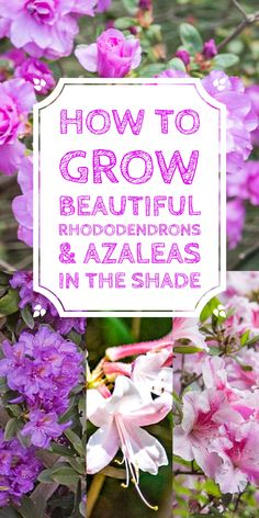 These tips on growing Rhododendrons are the BEST! I need some shrubs to grow in the shade in my backyard and now I know what I'm going to plant.