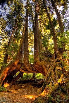 Cape Scott Tree   by trayner_photo