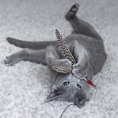 "879 Likes, 24 Comments - Luka the Russian Blue kitten  (@lukatherussianblue) on Instagram: ""No time for #whiskerwednesday too busy cat fishing """