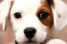 JRT puppy - squeeeee!!!!