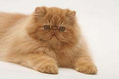"B-the funny part about this photo is the previous caption was ""persian"" that's it? Just the breed of the cat? Ur gonna completely ignore the fact that he's clearly hilarious looking in a random pose? Pretty Cats, Beautiful Cats, Cool Cats, Kittens Cutest, Cats And Kittens, Persian Kittens, Exotic Shorthair, Fluffy Cat, Cat Breeds"