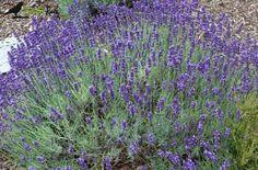 Lavendel, Ernte, Lavendelsäckchen www.KräuterRabe.de