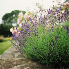 All Things Lavender: a blog by Jennifer Vasich: Growing Lavender 101: Spring Pruning!