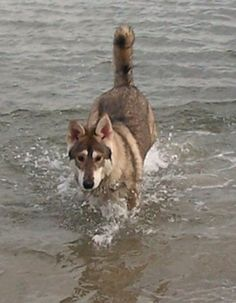 Northern Inuit Dog Information and Pictures, Northern Inuit Dogs -these pooches are too cool! Northern Inuit Dog, Animals And Pets, Cute Animals, Dog Information, Real Dog, Companion Dog, Alaskan Malamute, Dog Hacks, Weimaraner