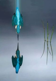 Kingfisher diving, Spain - Photo: Mario Cea Sanchez - Crash dive of a Kingfisher. The photographer took the perfect picture of a diving kingfisher after six years and shots to get it right. Beautiful Birds, Animals Beautiful, Foto Online, Kingfisher Bird, Common Kingfisher, Tier Fotos, No Photoshop, Mundo Animal, Colorful Birds