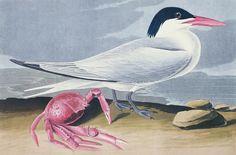 Audubon, Cayenne Tern