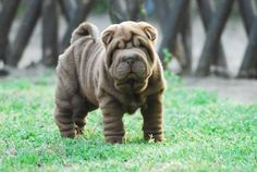 So many wrinkles!Cute sharpei puppy #sharpei #wrinklydog #dogwithwrinkles…