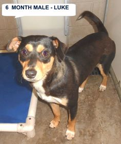 Luke  is a nice looking 6 mo old black black and tan mix breed boy who is very friendly.  . He would be a great new friend. He needs to be someone's special dog. The shelter is FULL, Please don't leave him there. . Call Silvia and Debbie now,,,,,Silvia is 910-876-0539 and Debbie is 339-832-0806. If Silvia's mailbox is full you can Text her. Transportation is generally available up and down the East Coast from NC, VA, MD, NJ, PA, NY and the North East...These 4 hounds came in together. They…