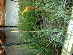 Flowering Tilladsia Airplants