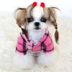 This baby shih tzu I wish Ireland would have puppies but it's so much work/risk! Baby Shih Tzu, Shih Tzu Puppy, Shih Tzus, Chien Shih Tzu, Shih Tzu Hund, Cute Puppies, Cute Dogs, Dogs And Puppies, Doggies