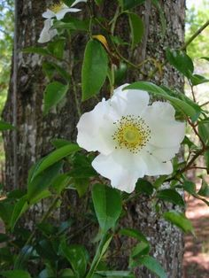 Close-up picture of Cherokee Rose Close Up Pictures, Flower Pictures, White Roses, White Flowers, Native Rose, Cherokee Rose, Growing Roses, Rose Bush, Rose Tattoos