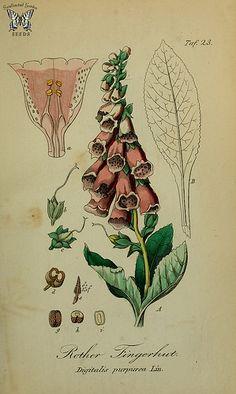 Foxglove (Digitalis purpurea). Sammtlich Giftgewache Deutschlands (1854)