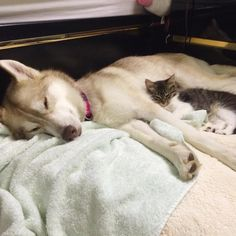 They Thought This Kitten Was Going To Die, But Then She Met A Husky Named Lilo   Bored Panda
