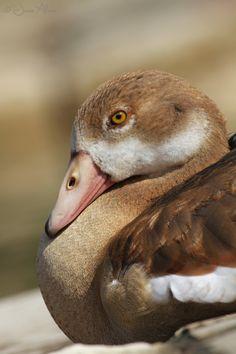 Egyptian Goose (juvenile bird, gossling) ~ Nilgans (Jungvogel, Gössel) ~Alopochen aegyptiacus 2014 © Jesse Alveo