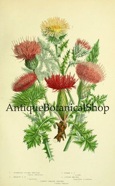 Instant download set of 9 vintage botanical prints, Scanned antique bookplates, Anne pratt illustrations, Poppy, Clover, Thistle, Foxglove  These beautiful illustrations were created by Anne Pratt.  You will receive 300 dpi resolution 9 scanned images at 6.5 x 10.5 inches.  Digital images will come without watermarks!  NOTE: This listing is for an INSTANT DOWNLOAD. No physical items will be shipped. Original images will be available immediately after check out. You will get a link for…