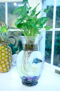 How to assemble Betta Fish Terrarium humanely (definitely read other Betta pin on this board). Need to make sure they can breathe, they still eat need to eat meat--blood worms, plants need to be trimmed (trimmable). Water can't get too cold. Okay plants: pothos,