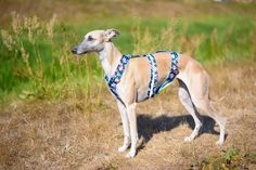 Anti-escape harness for whippet with reflective tape. Avaliable in every pattern. Whippet harness, whippet collar, sighthound harness