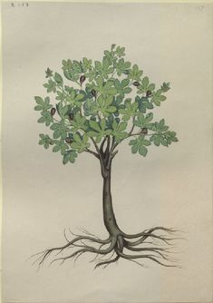 Caldara after Andrea Amadio. 'A Fig Tree'. Watercolour and bodycolour over graphite on wove paper. 1876.