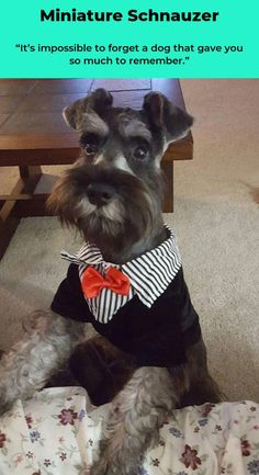 All About Smart Miniature Schnauzer Puppy Size #miniatureschnauzerpuppy #miniatureschnauzeroninstagram #miniatureschnauzertraining Schnauzer Breed, Schnauzer Puppy, Schnauzer Grooming, Puppy Grooming, Baby Dogs, Dogs And Puppies, I Love Dogs, Cute Dogs, Miniature Schnauzer Black