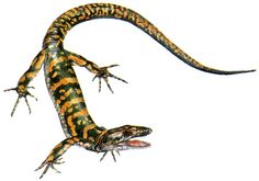 Archaeothyris | Archaeothyris, one of the earliest known synapsids (mammal-like reptiles)