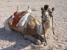 Camel - Sharm el Sheikh