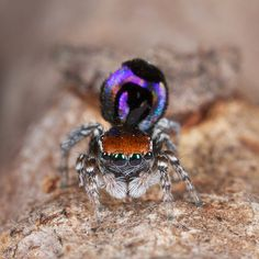 peacock spider Maratus robinsoni