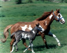 paint horse and foal by gerraughty, via Flickr