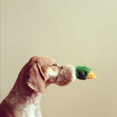 Duck Status Update 2: Nose-Warmer. Maddie, the Coonhound: a super serious project about dogs and physics. #maddieonthings