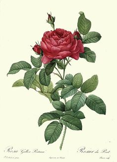 File:Redoute - Rosa gallica pontiana.jpg   This image (or other media file) is in the public domain because its copyright has expired.