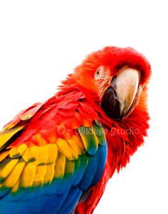 Scarlet Macaw  Unmatted Print by ozwildlifestudio on Etsy, $15.00