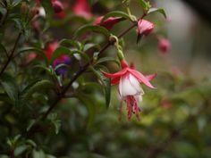 Hogyan csípjük vissza a fukszia hajtásait? Balcony Garden, Gardening, Plant, Lawn And Garden, Balcony Gardening, Horticulture