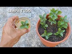 Só a folha dessa planta (destrói o catarro,febre, dores) - YouTube Detox, Youtube, Growing Herbs, Smart People, Workouts For Abs, Baby Tips, Bee House