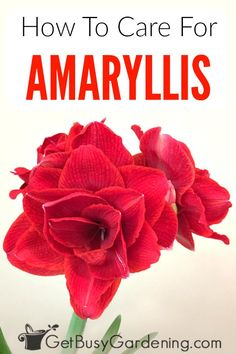 Amaryllis bulbs flower during the holidays and are popular Christmas gifts especially ones with red or white flowers Learn how to grow amaryllis indoors as a houseplant o. Amaryllis Care, Amaryllis Plant, Amaryllis Bulbs, Home Design, Modern Design, White Flowers, Beautiful Flowers, Rare Flowers, Amarillis