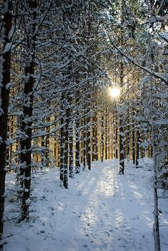 There is such an sublimely lovely elegance to pale winter sunshine. #snow #forest #winter