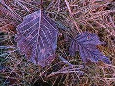 Day 76 - Autumn leaves frozen