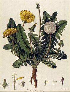 Leontodon Taraxacum; Dandelion; Taraxacum officinale F. H. Wigg. aggr. | Kilburn, William | V Search the Collections