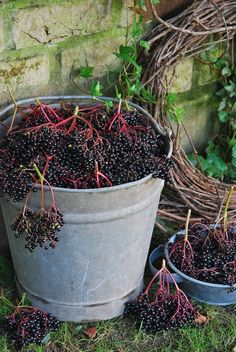 Elderberries for jam, wine, syrup. So good for you.