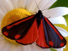 Cinnabar Moth - the larvae of which is a biocontrol for Tansy Ragwort, a local…
