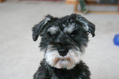 Schnauzer - Rags my pure bred Miniture Schnauzer that I refuse to do a Schnauzer cut on him.  Love his scruffy cute teddy face.