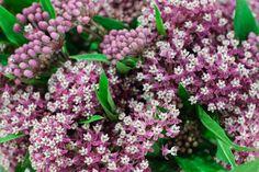 Purple Asclepias incarnata at New Covent Garden Flower Market - July 2015