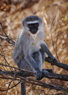 Vervet monkey @ Kruger National Park, South Africa