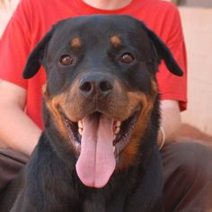 Max's eyes sparkle when he sees someone he likes.  He is an incredibly friendly and cheerful youngster, a 100-pound sweetheart Rottweiler, 1 year of age and neutered, debuting for adoption today at Nevada SPCA (www.nevadaspca.org).  Max is housetrained and good with older kids.  He cannot be around cats, small dogs, or other small animals.  (Rottweiler knowledge required for his adoption.)