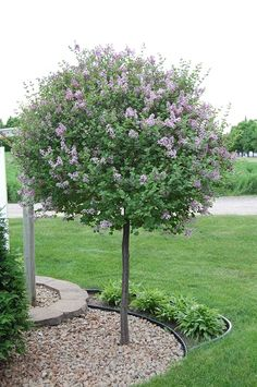 Grafted Lilac Tree 8' tall, Full sun. Requires little pruning, Best in well drained soils, but will tolerate sandy conditions.  Growing zones 4 to 7.