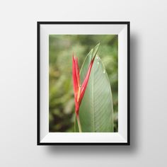 Bird of Paradise Photo, Nature Photography, Heliconia, Lobster Claw