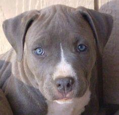 gray pitbull :)