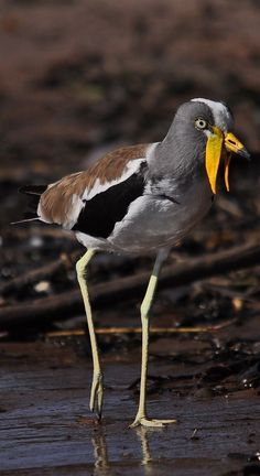 About Wild Animals: A white-crowned lapwing Rare Birds, Exotic Birds, Colorful Birds, Pretty Birds, Beautiful Birds, Animals Beautiful, N Animals, Nature Animals, Funny Birds