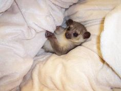 kinkajou bed time!! i needs this in my life again just seeing this brings tears to my eyes!!