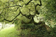 Frassino, l'Albero cosmico simbolo della mediazione tra il cielo e la terra