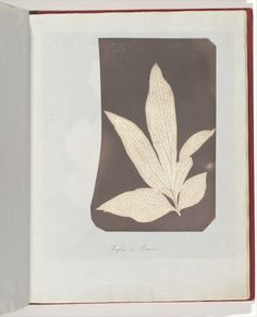 Foglia di Peonia, 1839. Photogenic drawing.